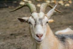 Chèvre à une ferme Photos stock