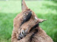 Chèvre étroite Photographie stock