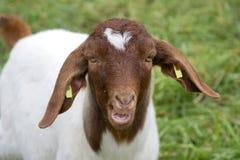 Chèvre 1 Image libre de droits