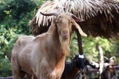 Chèvre. Photos libres de droits