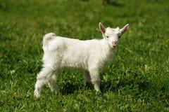 Chèvre Image stock