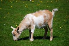 Chèvre Images stock