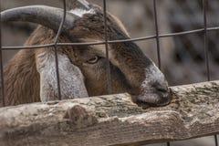 Chèvre affamée Images stock