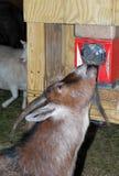 Chèvre affamée mangeant de la nourriture de la machine quarte Image libre de droits