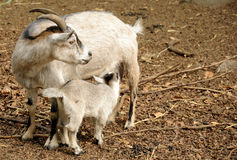 Chèvre alimentante images libres de droits