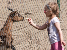 Chèvre alimentante de fille Photographie stock