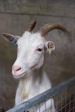 Chèvre anglo de Nubian photographie stock