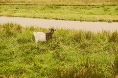 Chèvre au pré Photographie stock