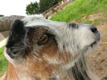 Chèvre au zoo images stock