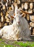Chèvre avec de grands klaxons Photos libres de droits