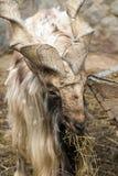 Chèvre avec de grands klaxons hélicoïdaux Image stock
