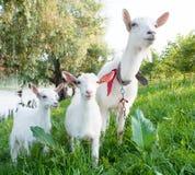 Chèvre avec des gosses Photographie stock libre de droits