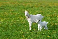 Chèvre avec l'enfant Images stock