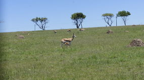 Chèvre avec l'petit animal dans l'environnement naturel Photographie stock libre de droits