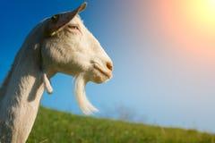 Chèvre avec la barbe Photographie stock libre de droits