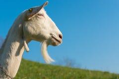 Chèvre avec la barbe Images libres de droits