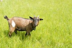Chèvre avec la cloche Photos libres de droits