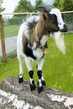 Chèvre avec la cloche Photo stock