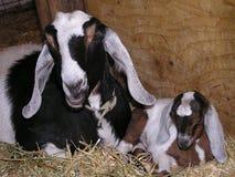 Chèvre avec le gosse Photos stock