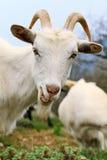 Chèvre avec le sourire affecté Images libres de droits