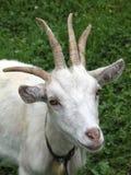 Chèvre avec quatre klaxons images libres de droits