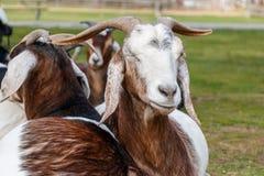 Chèvre avec un oeil fermé images stock
