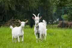 Chèvre avec une chèvre, Photos stock