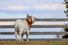 Chèvre avec une vue photo stock
