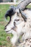 Chèvre barbue Image libre de droits
