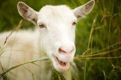 Chèvre blanche Photo libre de droits