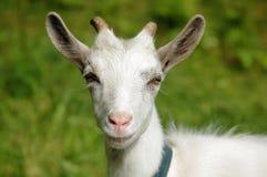 Chèvre blanche Photographie stock