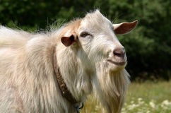 Chèvre blanche Photo stock
