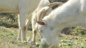 Chèvre blanche alimentant sur l'herbe verte banque de vidéos