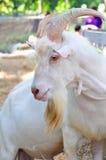 Chèvre blanche avec de grands klaxons Photo libre de droits