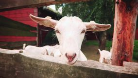 chèvre blanche dans la ferme banque de vidéos