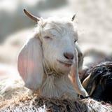 Chèvre blanche de la Kashmir (pashmina) de montagne indienne Photo libre de droits