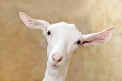 Chèvre blanche drôle avec de longs cils et yeux tristes photographie stock