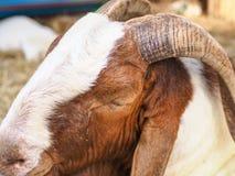 Chèvre blanche et brune dans la ferme, heureuse pendant la vie photo libre de droits