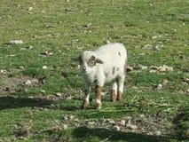 Chèvre blanche et noire de chéri Image stock