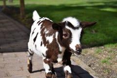 Chèvre blanche et noire de chéri Photographie stock