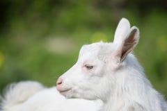 Chèvre blanche latérale debout Photos stock