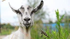 Chèvre blanche sans klaxons en nature banque de vidéos