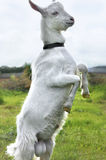 Chèvre blanche se tenant sur les jambes de derrière Photos stock