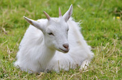 Chèvre blanche se trouvant sur l'herbe Image stock