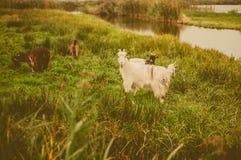 Chèvre blanche - signe de l'année 2015 Photos stock