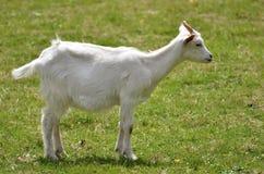 Chèvre blanche sur l'herbe Photos stock
