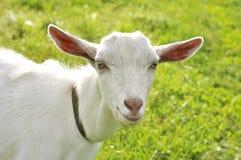 Chèvre blanche sur un pré Image stock