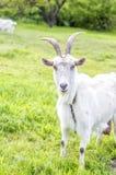 Chèvre blanche sur un pré vert Photos libres de droits