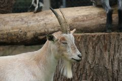 Chèvre canadienne de ferme Photo stock