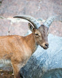 Chèvre caucasienne Photographie stock libre de droits